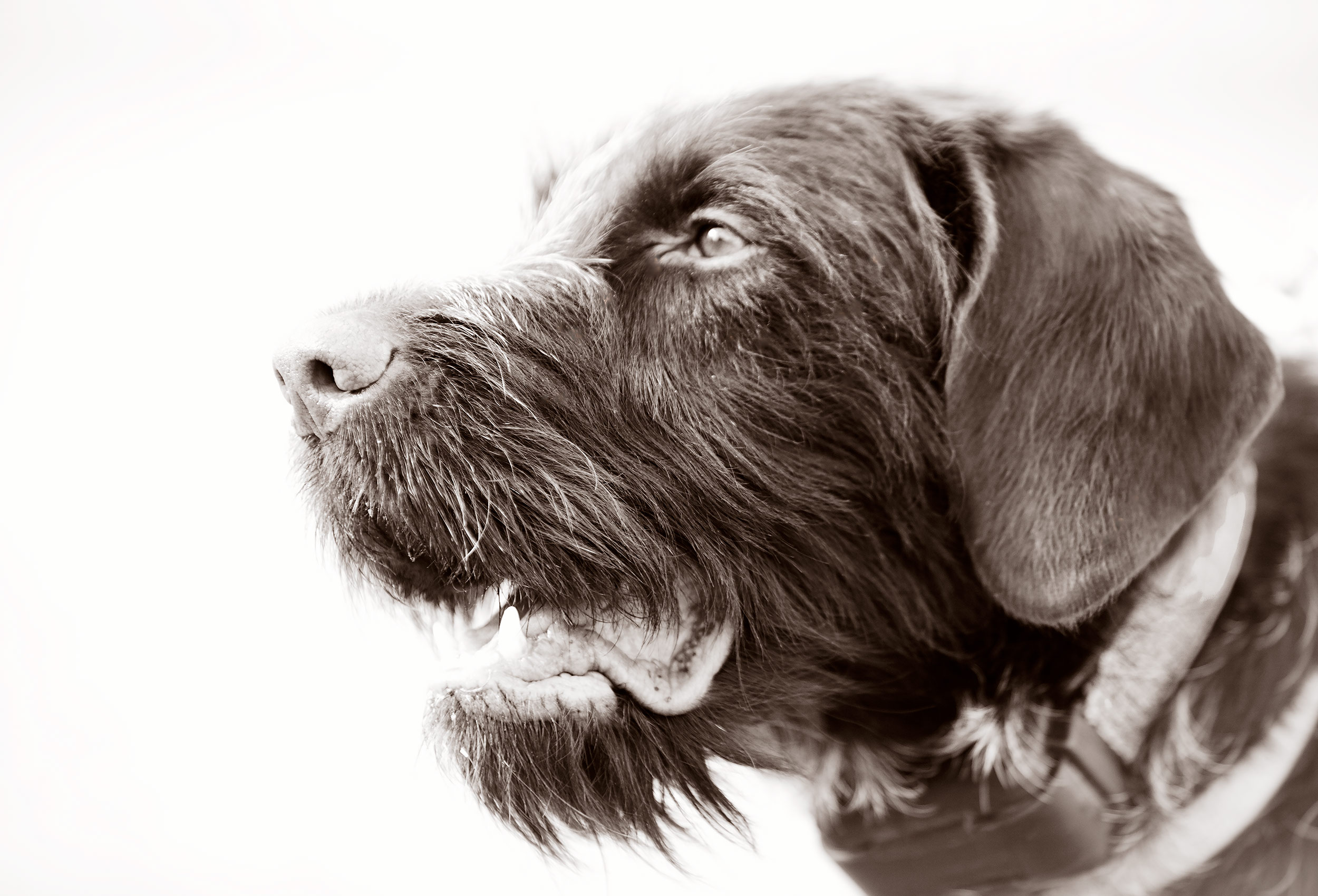 Black and White image of a Wire Haired Pointer bird dog