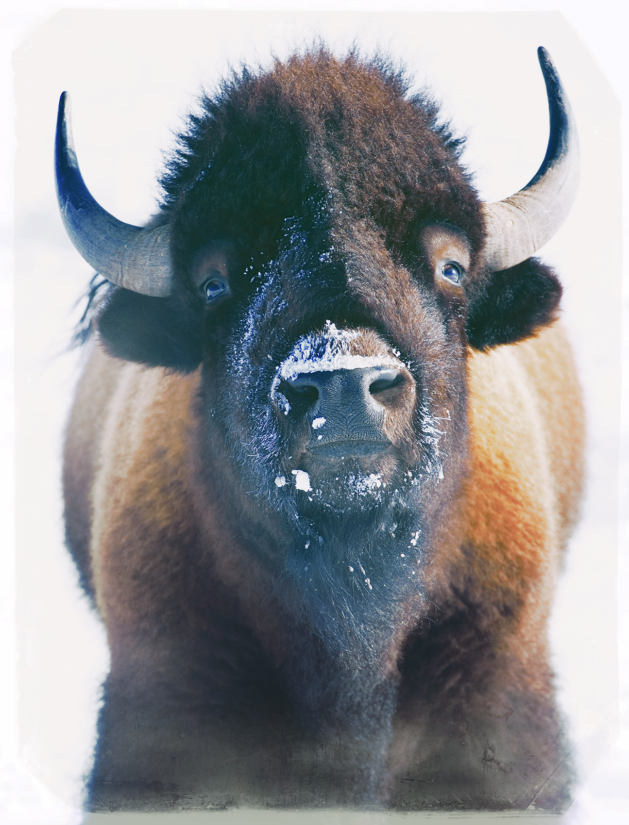 Staring at a Bison in the Winter