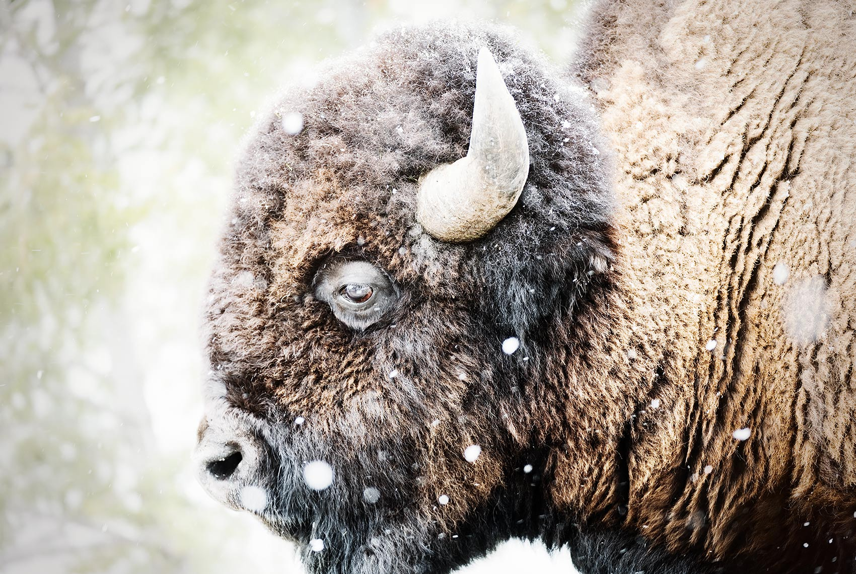 Profile of a Bison
