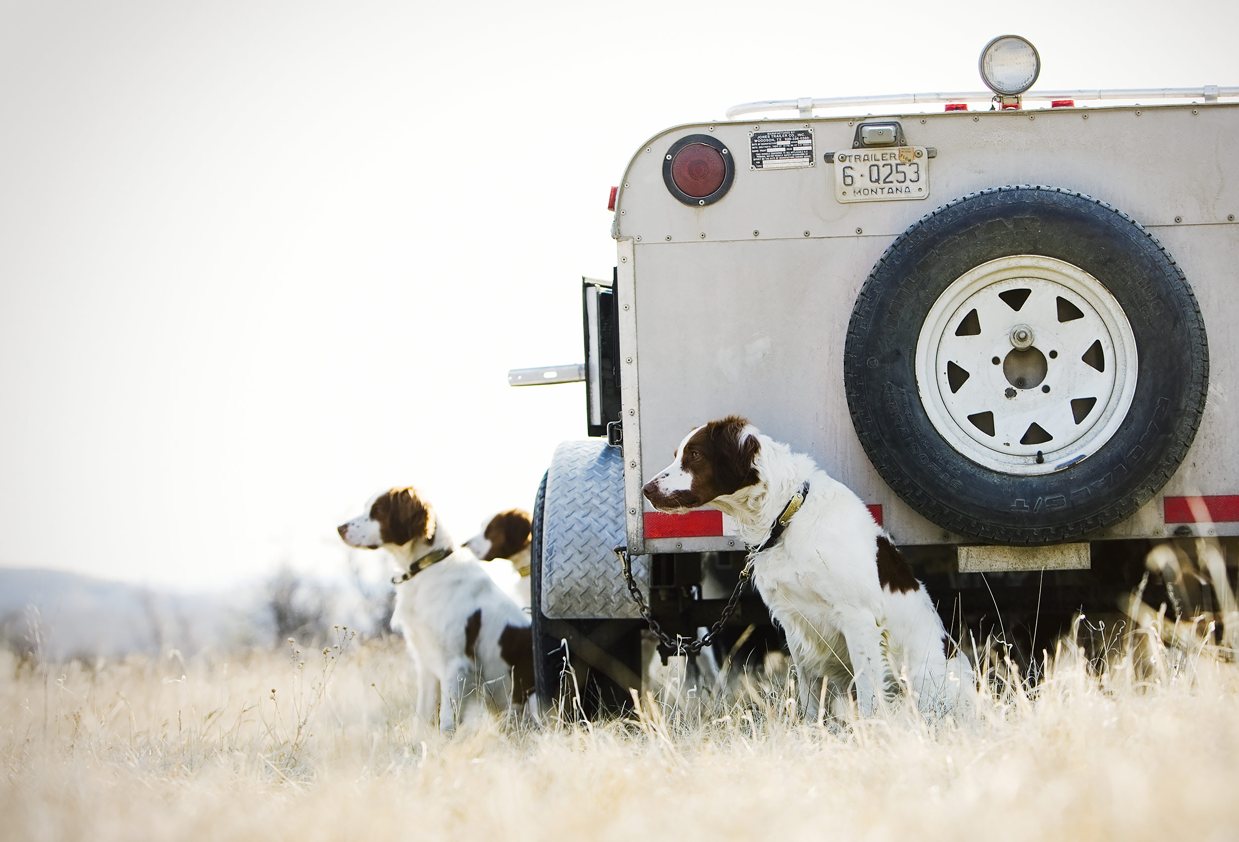 Brittany Spaniel bird dogs sitting next to the kennel trailer