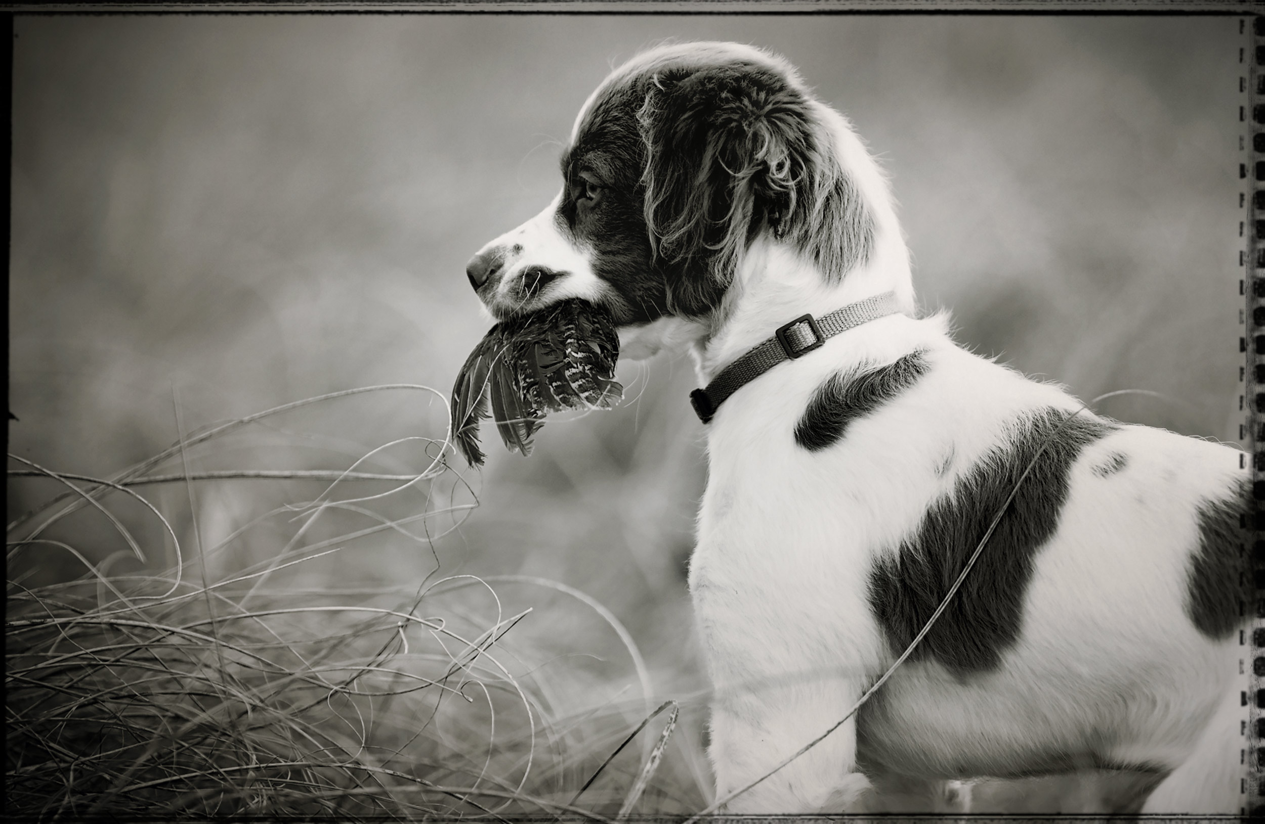 Brittany bird dog puppy with a bird wing in his mouth