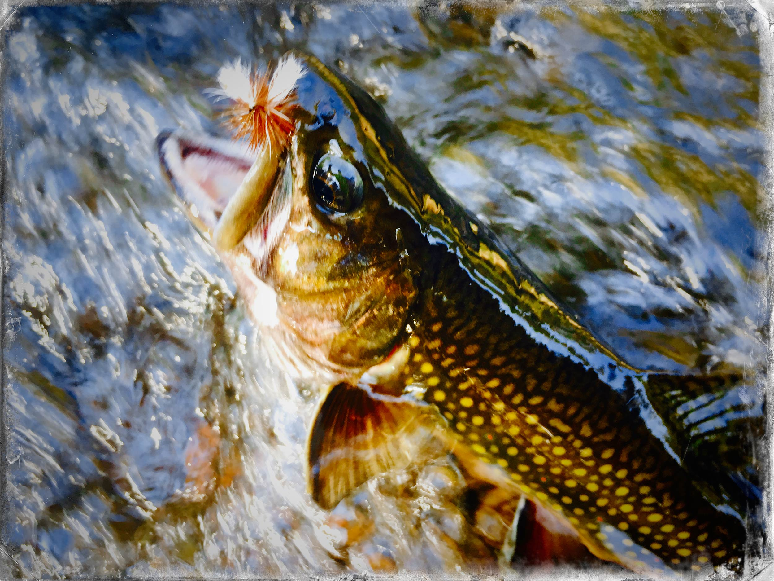 Brook Trout with a Dry Fly