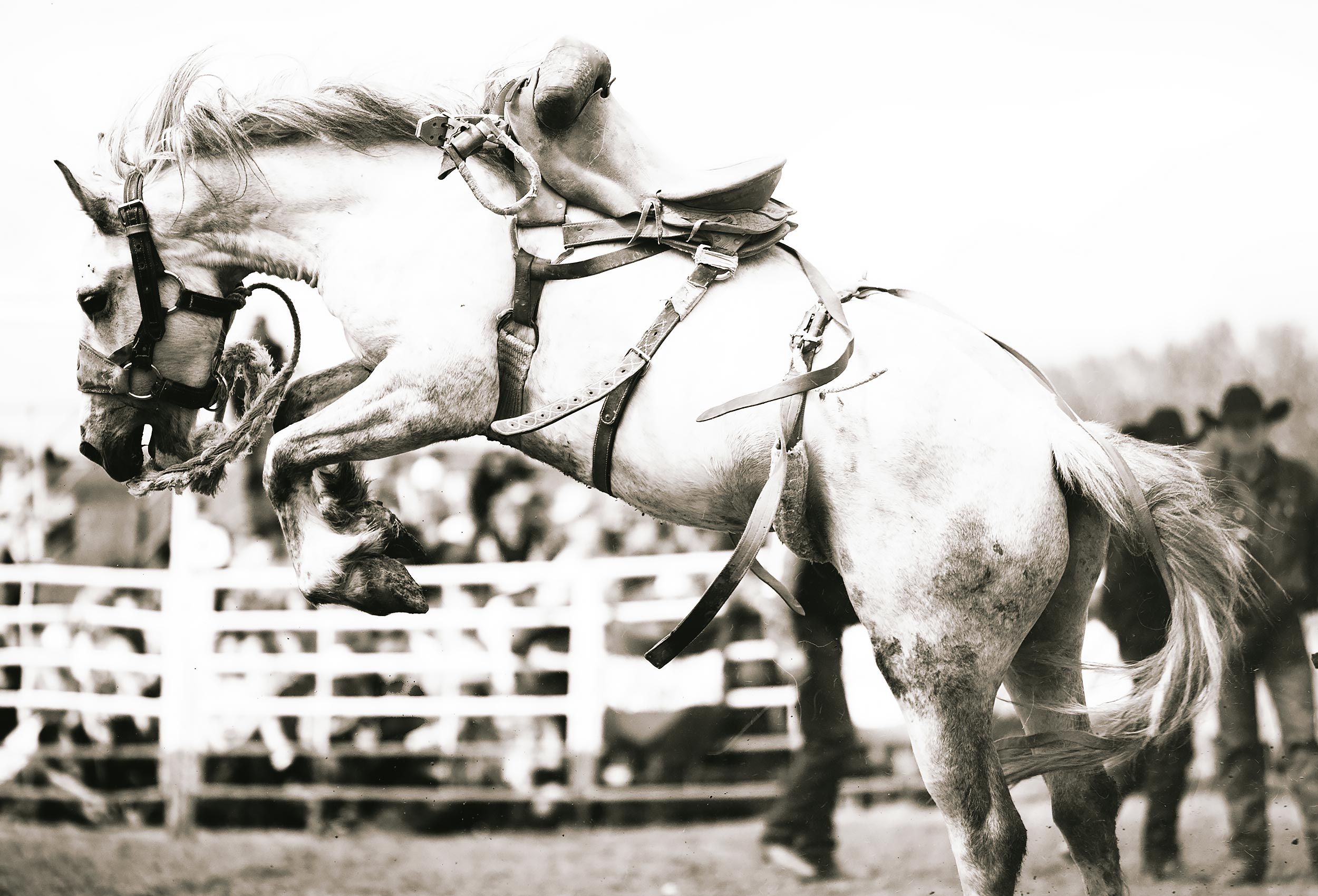 Bucking horse without a rider at a rodeo in Montana