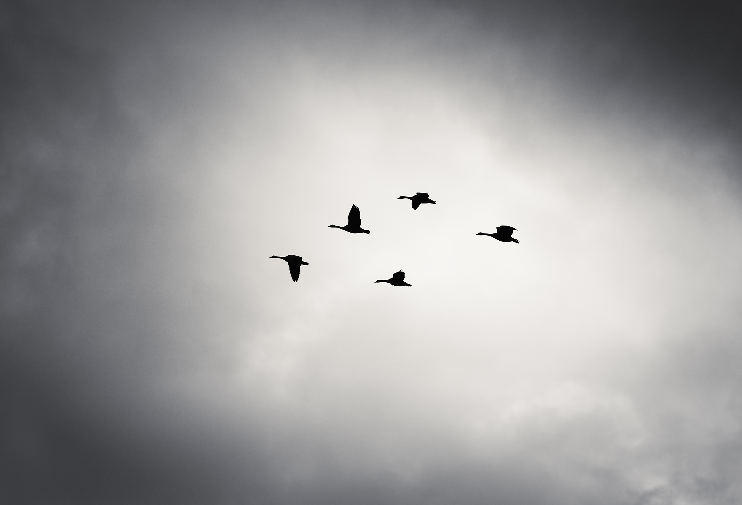 A flight of geese flying in a stormy sky in Montana