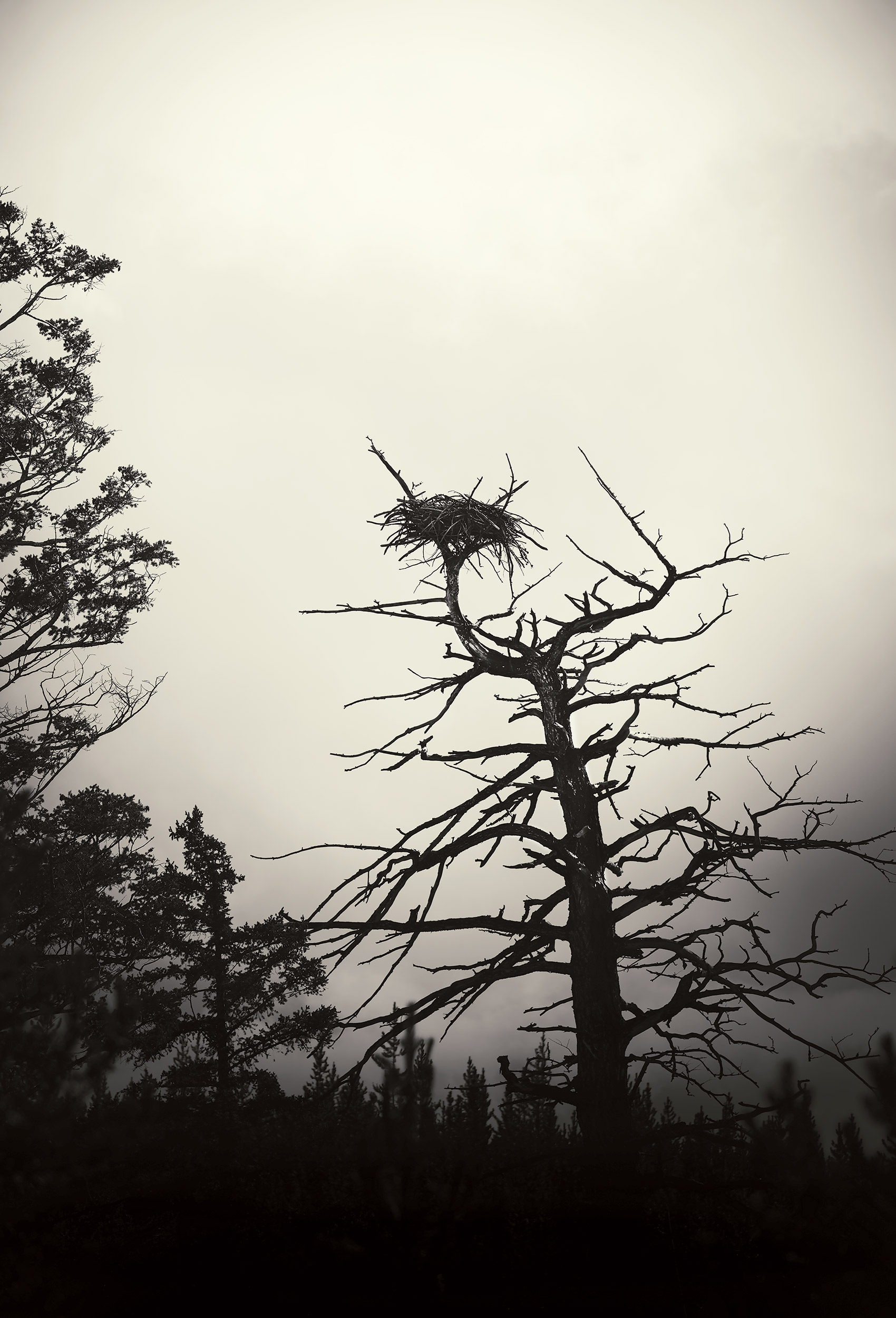Eagle nest in a dead tree in Wyoming