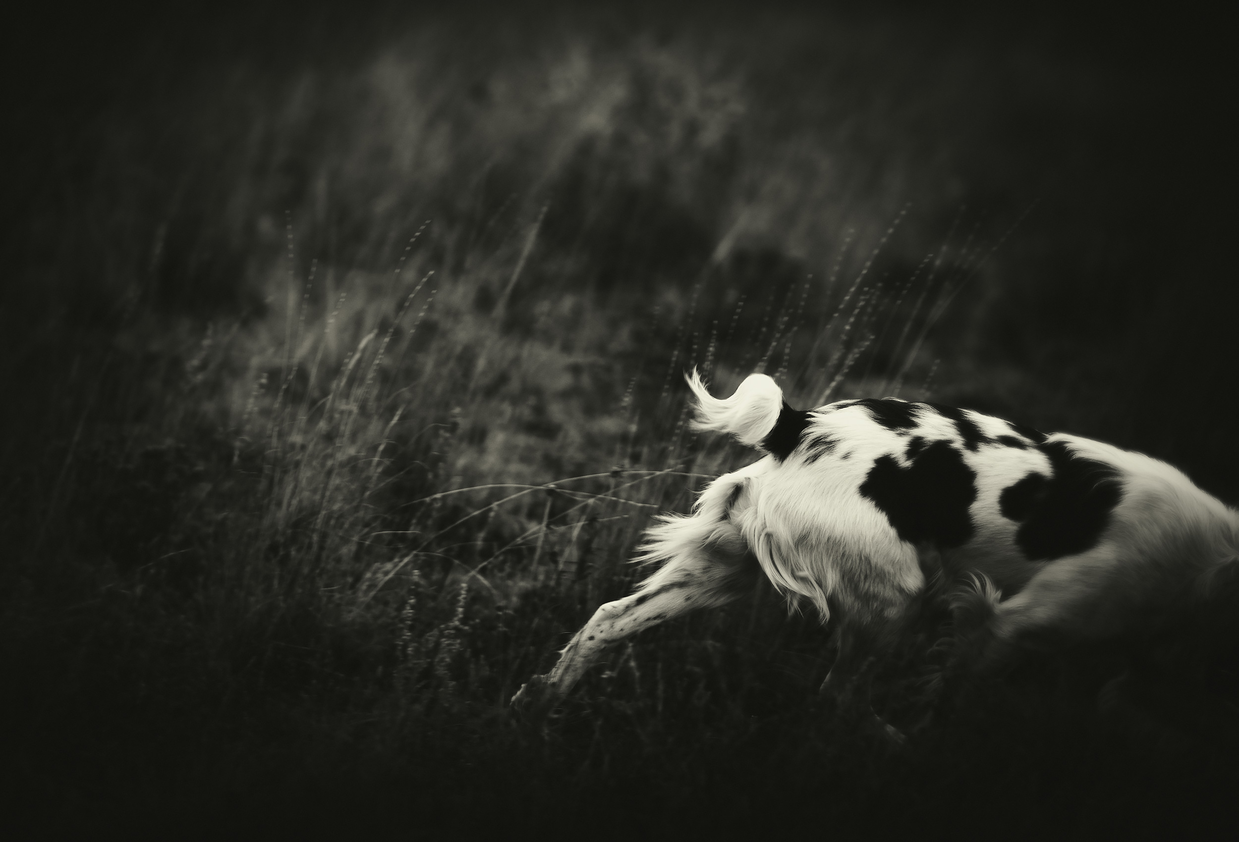Black and  white image of a Brittany Spaniel bird hunting