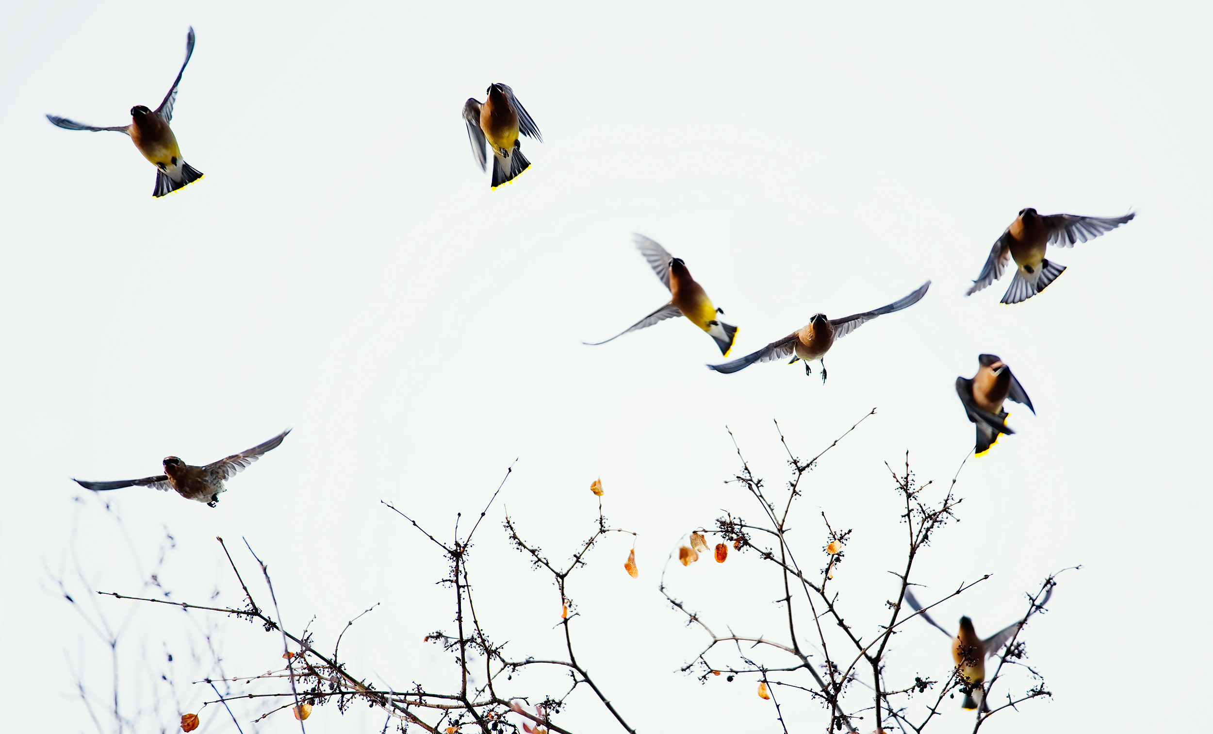 Cedar Waxwings in Flight