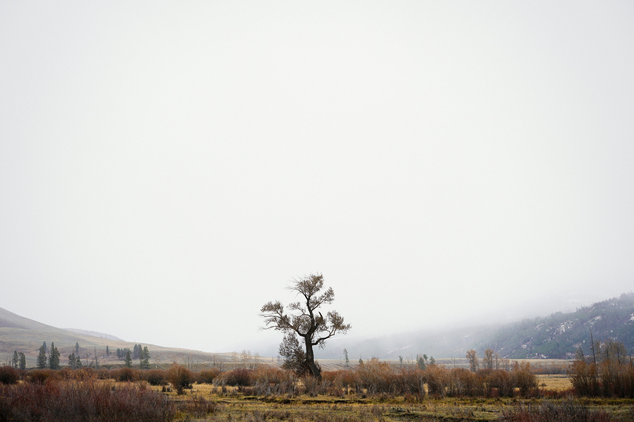 Lone Tree in the Lamar Valley